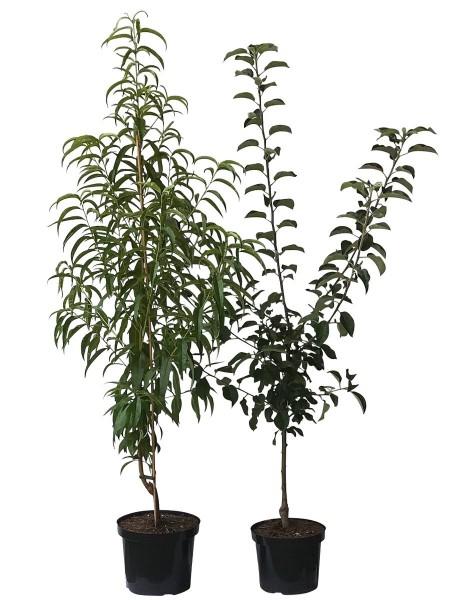 2er Set Pfirsichbaum + Apfelbaum Sandwichpfirsich + Topaz Ⓢ 120-150 cm + 1 x Oscorna Hornspäne
