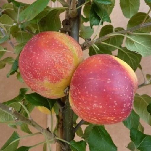 Rote Alkmene aromatischer robuster Herbstapfel Hochstamm 180 cm Stamm wurzelnackt Sämling