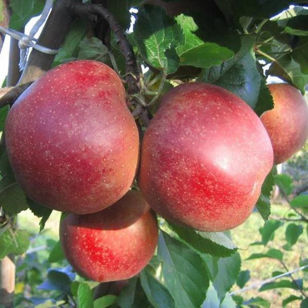 Apfelbaum Roter Boskoop, Winterapfel, Backapfel als Buschbaum 120-150 cm 10 Liter Topf, Unterlage M7