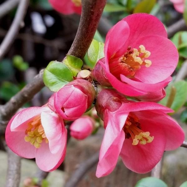Zierquitte Pink Lady - Chaenomeles superba