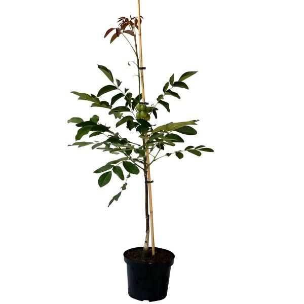 Weinsberg 1 veredelter Walnussbaum Walnuss mit hohem Ertrag ca. 60-100 cm im 7,5-10 Liter Topf