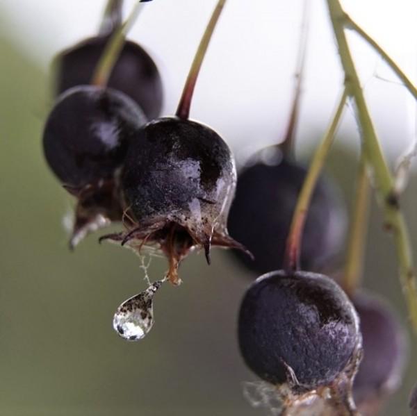 Felsenbirne Greatberry (R) Aroma - Amelanchier alnifolia