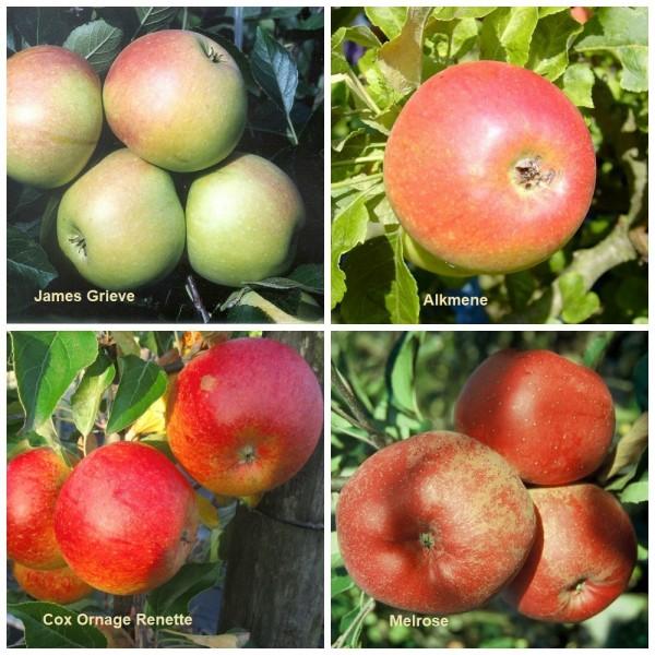 Familienbaum Apfelbaum James Grieve Alkmene Cox Orange Melrose M7