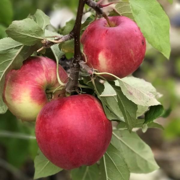 Apfelbaum Cox Orange Winterapfel Tafelapfel 2jährig Apfel Buschbaum 150-170 cm 9,5 Liter Topf MM111