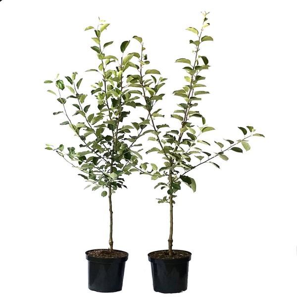 2er Set: Roter Boskoop + Jonagold kräftiger Apfelbaum Apfel Buschbaum 150-175 cm M7 + 1 x Dünger