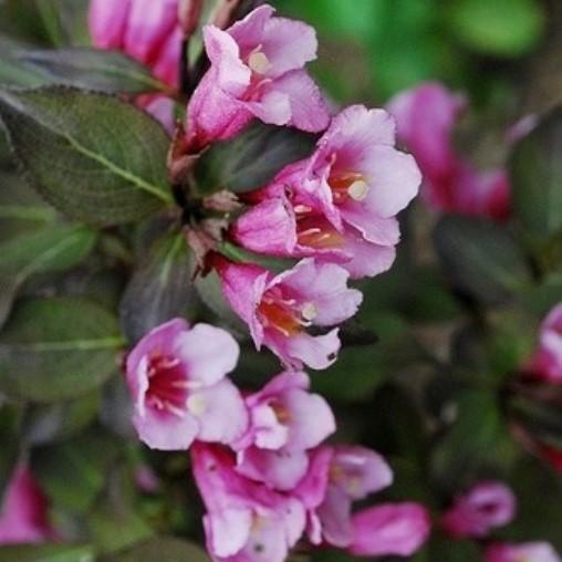 Weigelie Glöckchenstrauch Weigela Minor Black® dunkelrosa blühend dunkles Laub 30-50 cm 3 Liter Topf