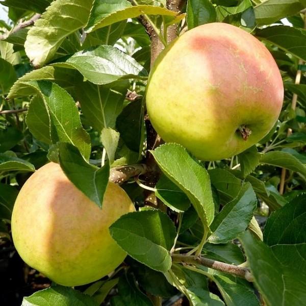 Apfelbaum Ecolette selbstfruchtbar Winterapfel Buschbaum 150-170 cm 10 Liter Topf Unterlage M7
