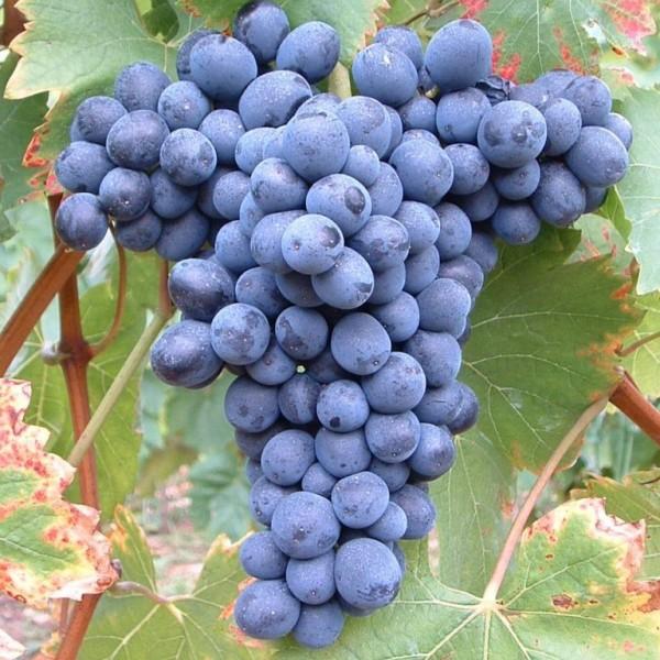 Weintraube Solara