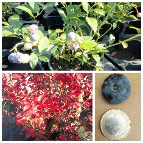 Chandler, Kulturheidelbeere, Blaubeere, große, schmackhafte Beeren 30-40 cm im 5 Liter Topf