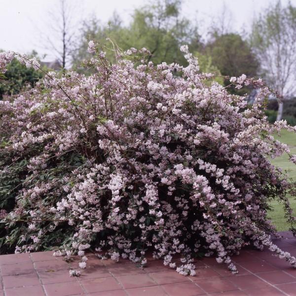 Deutzie, Deutzia Mont Rose, Zierstrauch rosa Blüte 20-40 cm im 2 Liter Topf