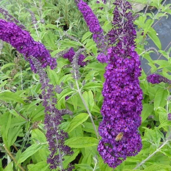 Sommerflieder Buddleja davidii African Queen purpurviolett blauviolett blühend duftend im 3 L Topf
