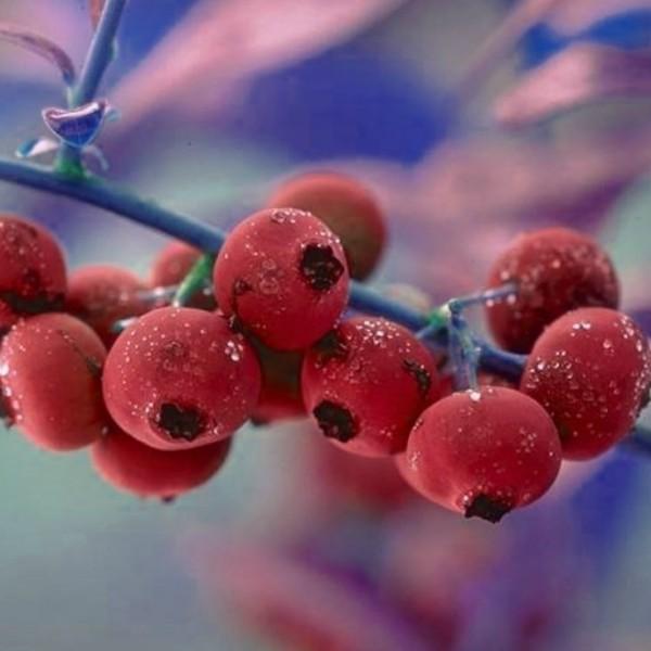 Heidelbeere Pink Lemonade ® rosa Blaubeere - sehr frosthart