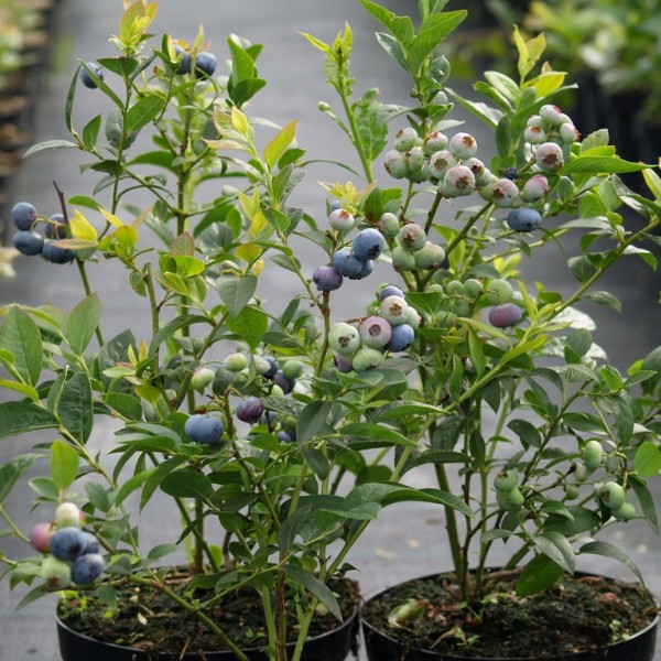Kulturheidelbeere Reka robuste, süß aromatische Blaubeere Heidelbeere, 40-60 cm groß im 3 L Topf