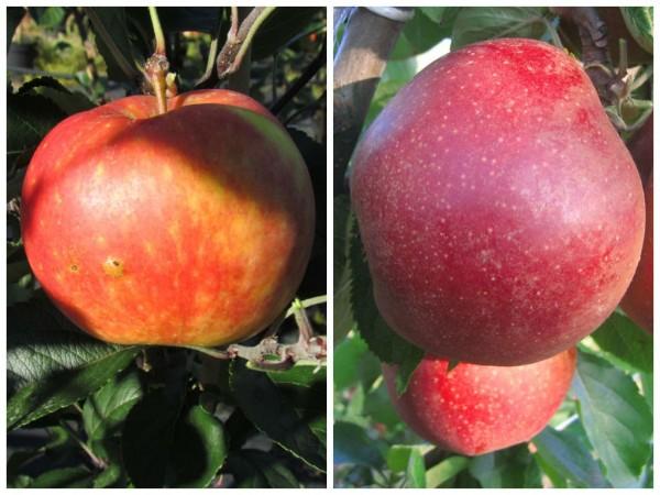 Duo-Apfel S1: ein Buschbaum mit den Sorten James Grieve und Roter Boskoop, im 7,5 Liter Topf M7