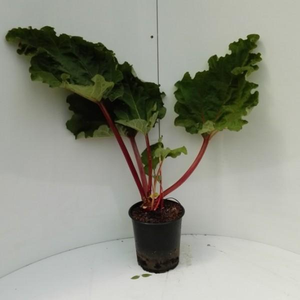 Rhabarber Pflanze Holsteiner Blut rotstielige Sorte eher mild im 5 Liter Topf