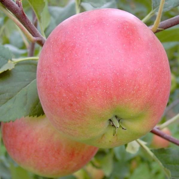 Apfelbaum Rubinola Ⓢ roter Herbstapfel süßsauer Buschbaum 120-150 cm im 7,5 Liter Topf Unterlage M9