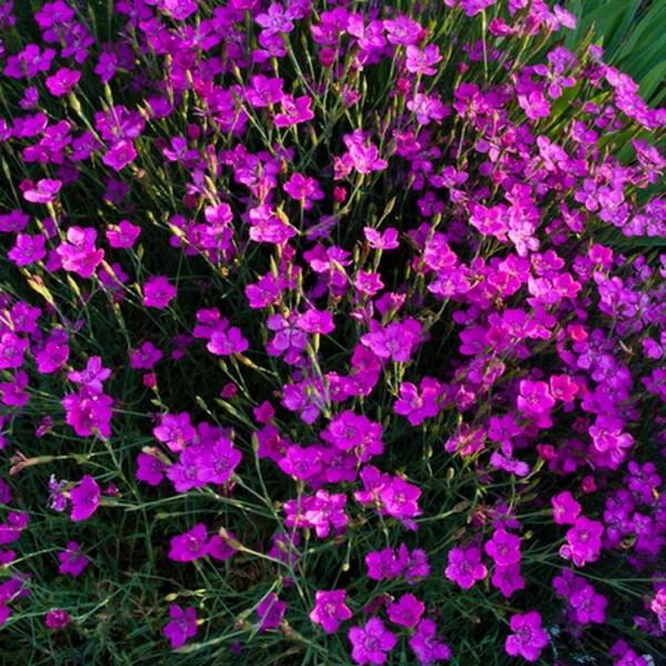 Heidenelke Nelke Dianthus deltoides Brillant duftende rote Blüte Staude im 0,5 Liter Topf