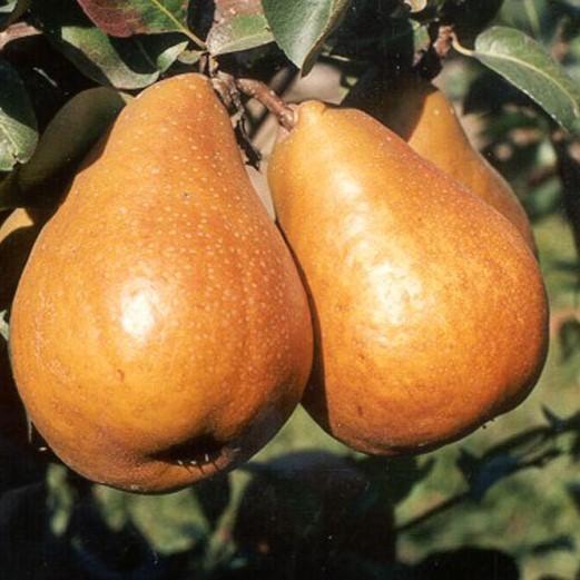 Birnenbaum Birne von Tongern Herbstbirne Buschbaum ca. 150-170 cm 10 Liter Topf Unterlage: Quitte A