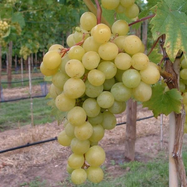 Frumoasa alba, pilzfeste Weinrebe, helle Weintraube aus Moldawien, 60-90 cm im 9 cm Topf