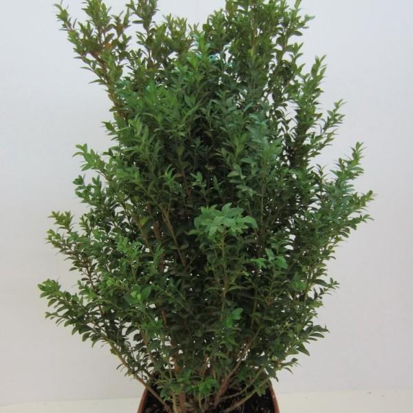 Buchsbaum-Strauch, Buxus, ca. 40-50 cm hoch 1 Pflanze im 1 Liter Topf