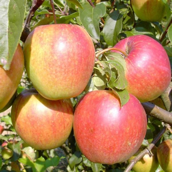 Apfelbaum Rewena robuster Winterapfel Halbstamm ca. 170-200 cm im 9,5 Liter Topf Unterlage MM 111