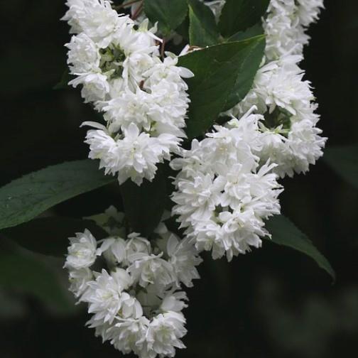 Hoher Sternchenstrauch Deutzie Deutzia magnifica weiße gefüllte Blüten Zierstrauch ca. 40-60 cm