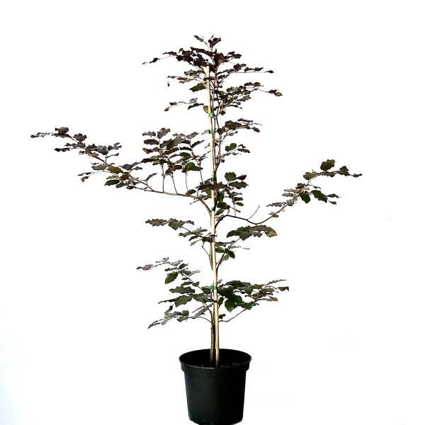 Rotbuche Buche,Fagus sylvatica heimischer Waldbaum als Heister mit ca. 100-150 cm im 5 Liter Topf