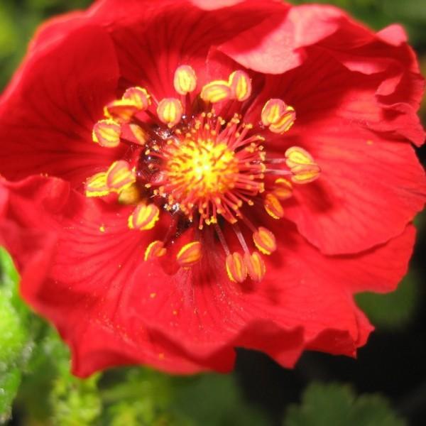 Blutrotes Fingerkraut, Potentilla atrosanguinea,  Blüte im Juni bis Juli, Staude im 0,5 Liter Topf