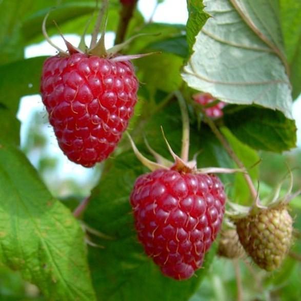Tayberry Kreuzung aus Himbeere und Brombeere gestäbt 40 - 60 cm im 2-3 Liter Topf