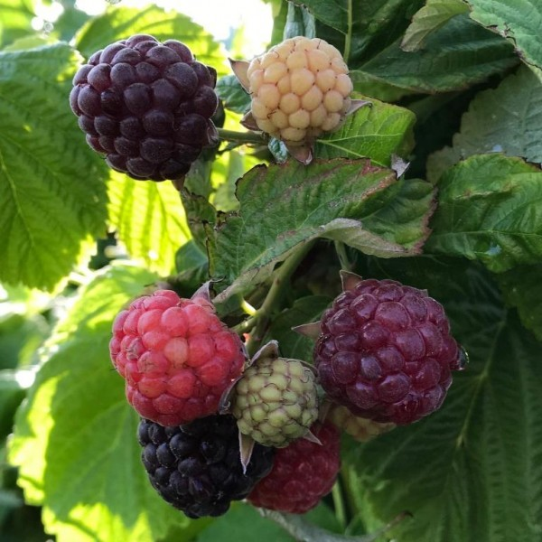 Primeberry ® Malling Passion ® purpurfarbene bis schwarze Himbeere - Herbsthimbeere
