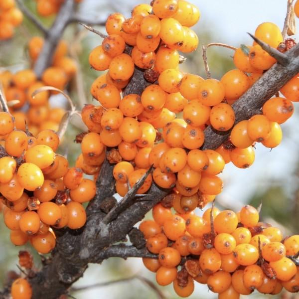 Friesdorfer Orange selbstfruchtbarer kräftiger Sanddorn 40-60 cm im 5 Liter Topf gewachsen