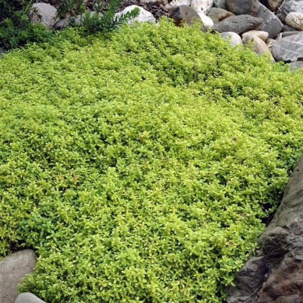 Zitronenthymian, Thymus citriodorus, gelbblättrig, 4 Pflanzen im Set, je im kleinen Topf