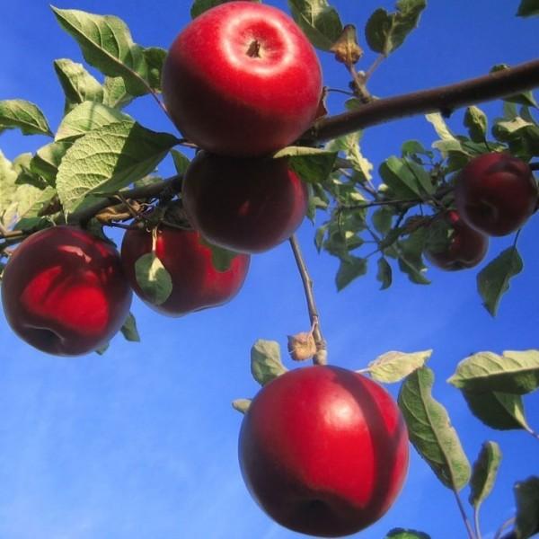 Apfelbaum Roter Jonathan, Winterapfel Buschbaum alte robuste Sorte 150-170 cm 10 L Topf Unterlage M7