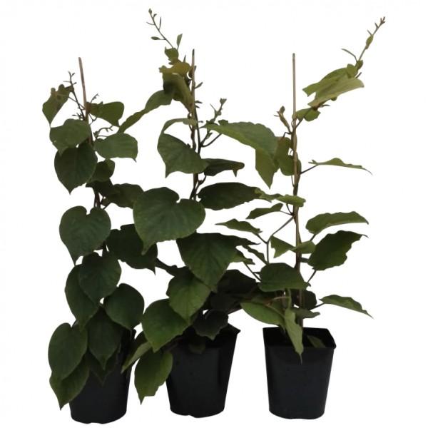 3er Set Kiwipflanzen: Hayward + Atlas + Jenny Kiwi 60-100 cm gestäbt  3-5 Liter Topf