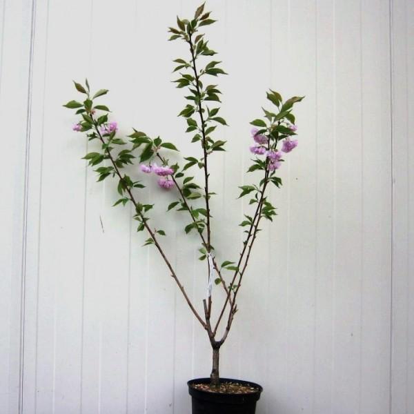 Japanische Blütenkirsche Prunus serrulata Kanzan rosa blühend 60-100 cm 5 Liter Topf