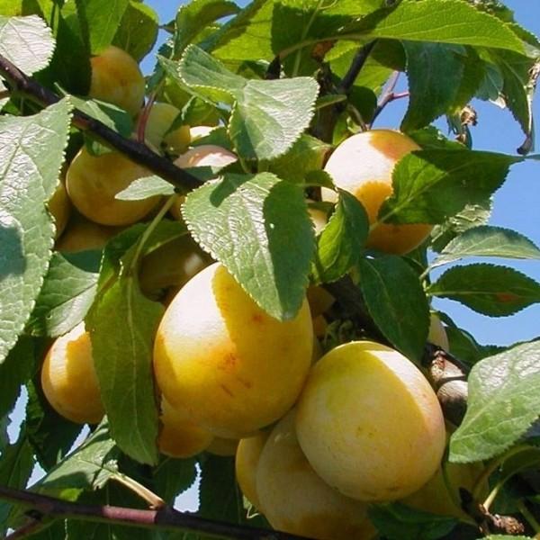 Nancy Mirabelle alte aromatische süße Sorte Hochstamm 180 cm Stamm wurzelnackt Unterlage St Julien A