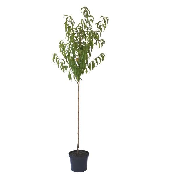 Pfirsichbaum BenedicteⓈ weißfleischiger Pfirsich Halbstamm 150-170 cm 10 Liter Topf Unterlage St. Julien A
