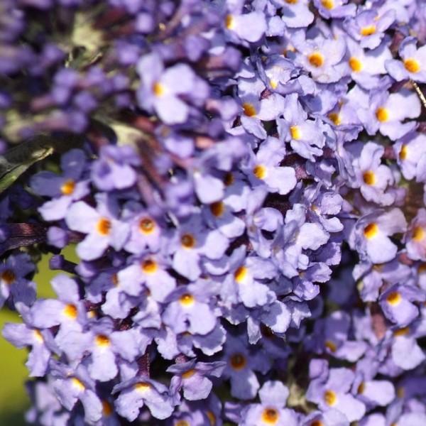 Zwerg Sommerflieder Buddleja davidii Lilac Chip® lila-rosa blühend duftend Bienenweide