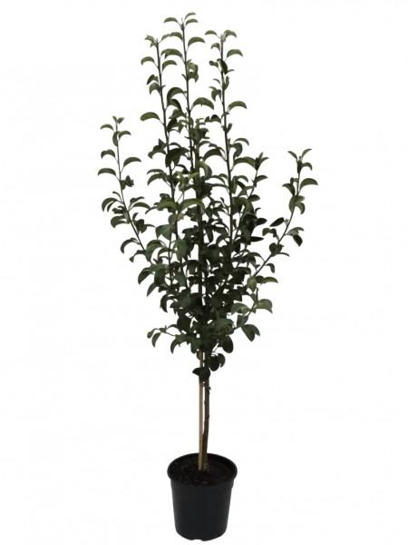 Birnenbaum Abate Fetel Tafelbirne Herbstbirne Birne Buschbaum 120-150 cm 10 Liter Topf Kirchensaller