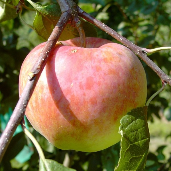 Apfelbaum Jamba, knackiger Sommerapfel Buschbaum robust 120-150 cm 10 Liter Topf, Unterlage: M7