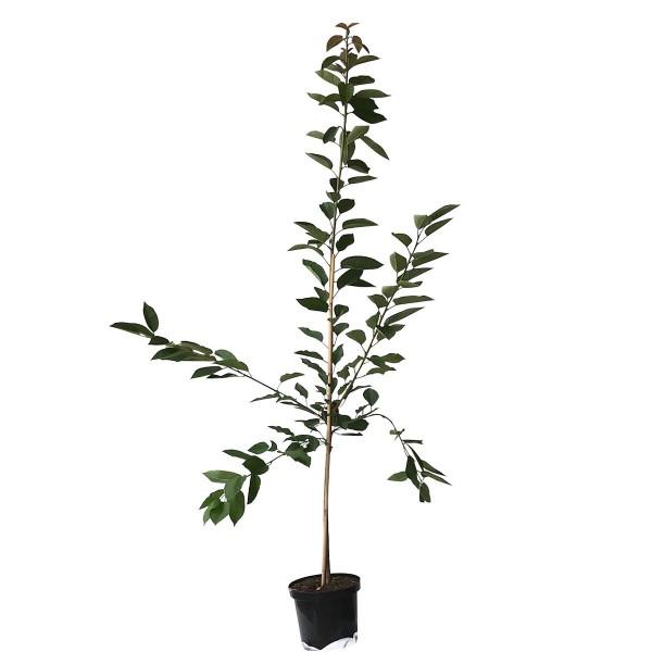 Kordia sehr große dunkle Süßkirsche Kirschbaum als Buschbaum ca. 120-150 cm 9,5 Liter Topf auf Colt
