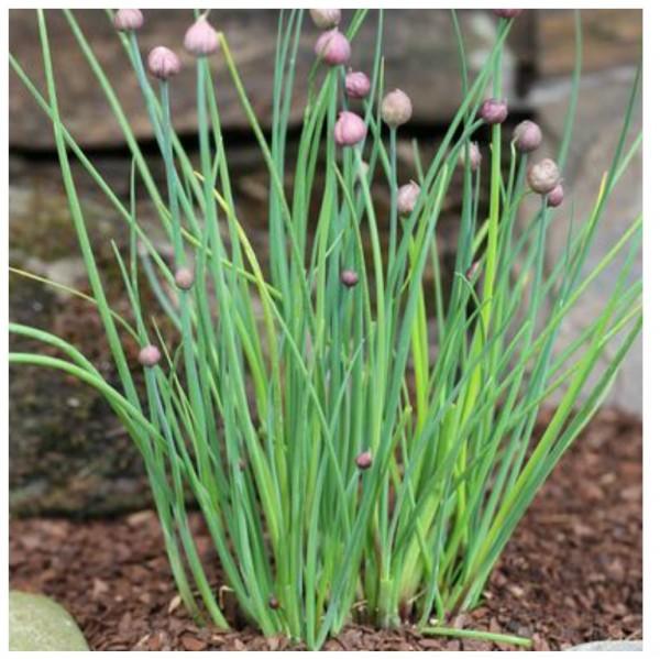 Schnittlauch, Allium schoenoprasum, 2 Pflanzen, Gewürzpflanze, je im 9 cm Topf
