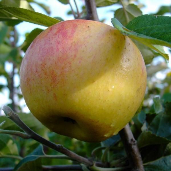 Apfelbaum Dülmener Rosenapfel alter robuster Herbstapfel Halbstamm 170-200 cm 10 L Topf Unterlage M7
