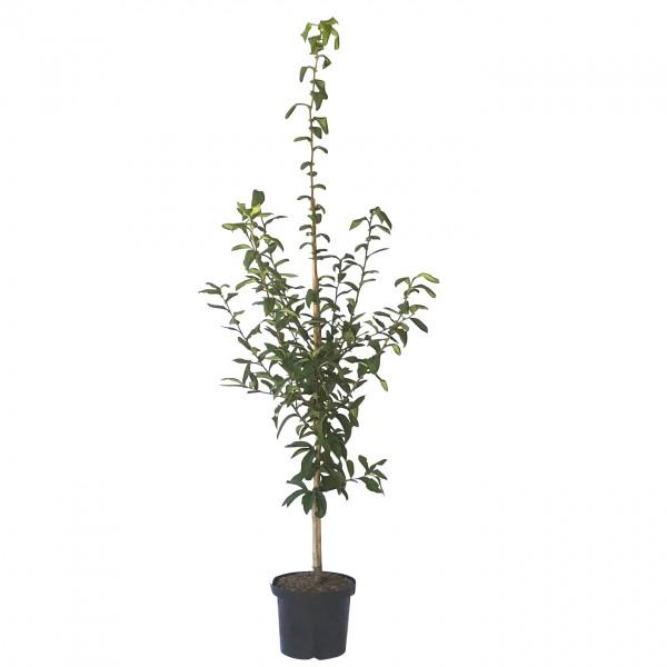 Mispel Westerveld Buschbaum - Mespilus germanica