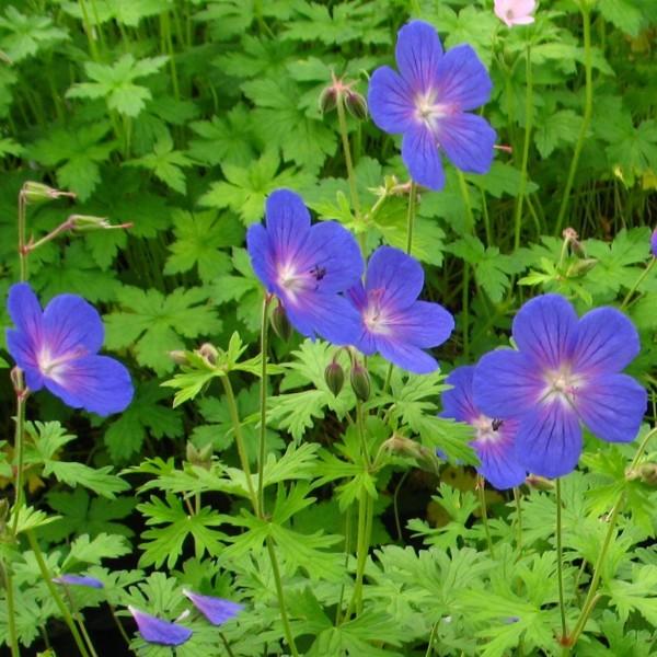 Storchenschnabel Geranium Pratense Set Aus 3 Stauden Blau Bluhend