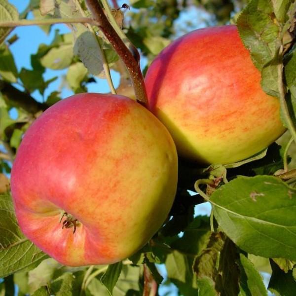 Apfelbaum Teser Herbstapfel schorfresistent Buschbaum 120-150 cm im 7,5 Liter Topf Unterlage M9