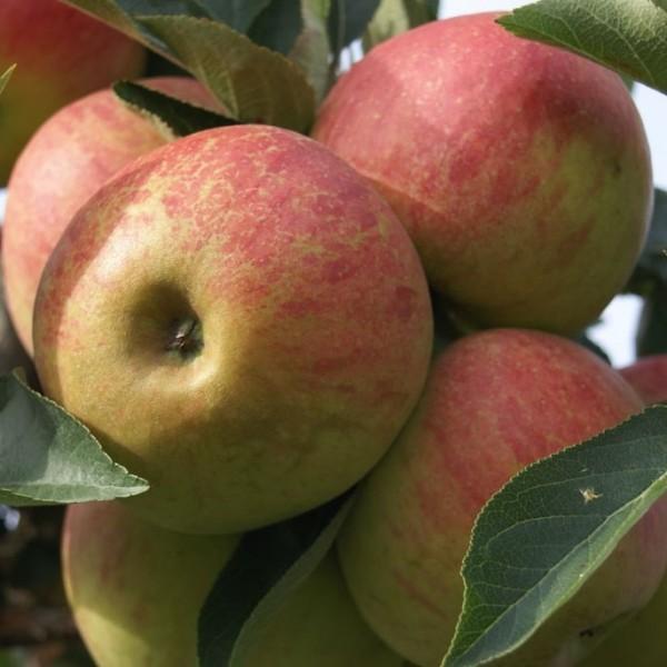 Apfelbaum Elstar schwachwachsender zweijähriger Apfel Buschbaum Balkonobst 120-150 cm 7,5 L Topf M9