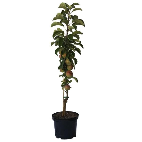 Säulenapfel 1a-plant FinnⓇ Terrassenobst Säulenobst Zwergbaum 80-120 cm 7,5 L Topf Unterlage MM111
