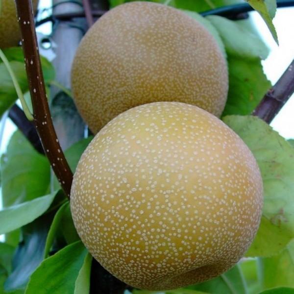 Nashi Hakko Asienbirne Apfelbirne frosthart Buschbaum 120-150 cm 7,5 Liter Topf Quitte A