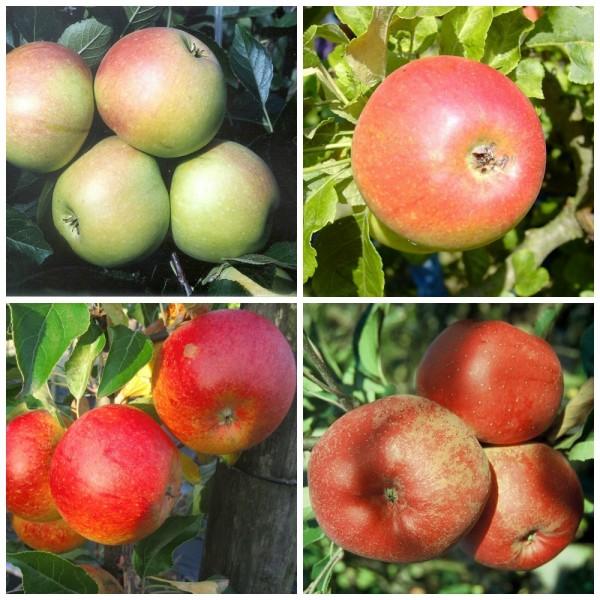 Familienbaum Duo Apfel S2: James Grieve Alkmene Cox Orange Melrose, Zweisortenbaum  7,5 L. Topf, M7
